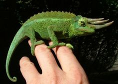 I want this chameleon!!! awesome