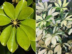 Nem kell sok a sugárarália boldogságához, de azt adjuk meg neki. Lombok, Plant Leaves, Garden, Flowers, Plants, Garten, Flora, Plant, Lawn And Garden