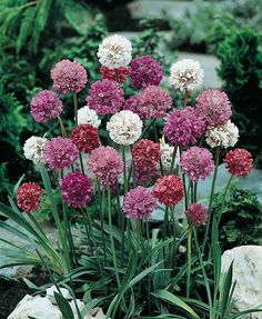 Formosa Hybrids Armeria plants with flowers in shades of lilac, pink, red, and white.