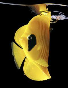 yellow & black fish