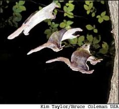 This time-lapse photo shows a southern flying squirrel moving from full glide to a landing position.