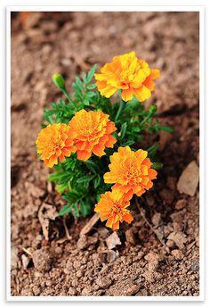 Marigolds - Garden Pest Control