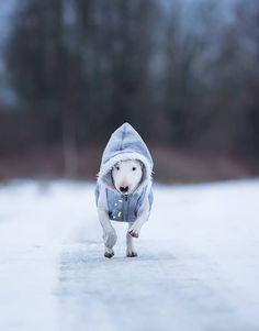 Gotta keep warm! #bullterrier