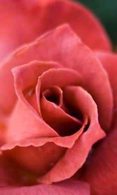 coral.quenalbertini: Coral rose