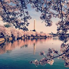 """""""national monuments + cherry blossoms = a gorgeous day in DC"""" by Lesia Mahlay"""