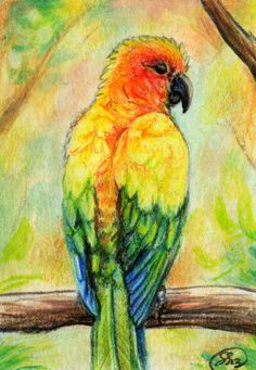 free prints of pictures of sun conures | Sun Conure ACEO by =animalartist16 on deviantART