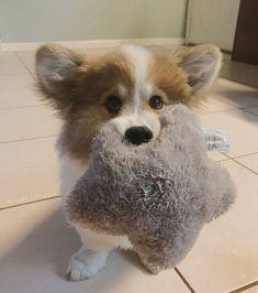Little Corgi with a toy Cute Corgi Puppy, Corgi Dog, Cute Puppies, Cute Dogs, Dogs And Puppies, Baby Corgi, Gsd Dog, Cutest Puppy, Baby Puppies