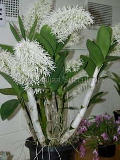 An introduction to the beauty and diversity of Australian succulent flora Dendrobium Orchids, Cacti And Succulents, Planting Succulents, Ikebana, Hanging Orchid, Orquideas Cymbidium, Rare Orchids, Growing Orchids, Vegetable Gardening
