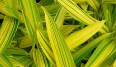 http://www.jardindesgazelles.fr/jardinerie-en-ligne/jardin-dornement/bambous/bambous-nains-et-de-petite-taille/article-bambou-nain-taille-2030-cm-pot-de-2-litres-pleioblastus-viridistriatus-auricoma-60