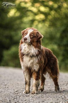 Red Australian Shepherd