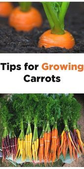 Tips for Growing Carrots in the Garden, including how to start carrot seeds, how to transplant and care for carrot seedlings, and how to harvest carrots - Gardening For Life Home Vegetable Garden, Fruit Garden, Edible Garden, Veggie Gardens, Growing Carrots, Growing Vegetables, Gardening Vegetables, Growing Onions, When To Harvest Carrots