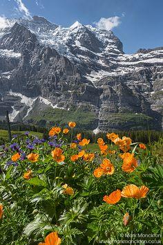 Switzerland flowers...... Wengernalp. Silberhorn in the background.