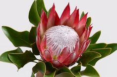 Red Protea Flower Bunch On A White Isolated Background With Clipping Path. For De Red prote Protea Flower, Sketch Tattoo Design, Invasive Plants, Butterfly Bush, State Of Oregon, Bunch Of Flowers, Flower Backgrounds, Clematis, Flower Designs