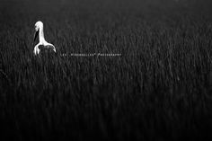 Lonesome stork by *Les Hirondelles* Photography, via Flickr