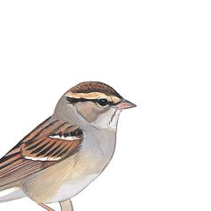 Chipping Sparrow, nonbreeding. Painted and © by David Sibley