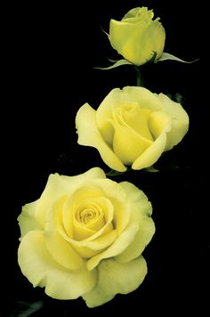 St Patrick - yellow blend, 30-35 petals, 1999, rated 8.0 (very good) by ARS.