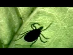 Under Our Skin (Full Movie)  Documentary about lyme disease  ///  https://www.youtube.com/watch?v=OrLJLgoNgA4