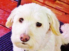 Maxwell the Dog Labrador Retriever, Dogs, Animals, Labrador Retrievers, Animales, Animaux, Doggies, Labrador, Animal