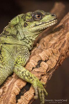 """""""Rest"""", fotografía de una iguana en el zoo de Santo Inácio, Portugal."""