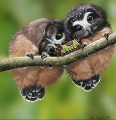 Northern Saw-whet Owl (Aegolius acadicus) Juvenile and Saddleback Caterpillar