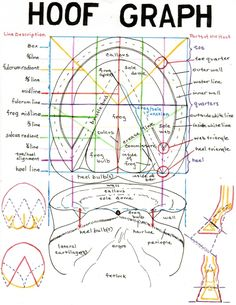Hoof graph - important to know your horse's feet. (plus the coolest horse anatomy website ever!) {When you see this hoof graph this is really an important to know your horse's feet} Horse Anatomy, Leg Anatomy, Animal Anatomy, Horse Information, Horse Facts, Animal Science, All About Horses, Horse Tips, Horse Training