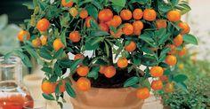 8 frutales perfectos para crear mini-bonsáis en macetas o jardineras