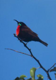 1-Scarlet-chested Sunbird-male, Emdneni Lodge, oct 3, 2016.IMG_1766