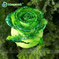 100PCS Flower Seed Holland Rose Seed Lover Gift Orange, Green Rainbow RARE 24 Color To Choose DIY Home Gardening Flower