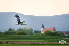 Abflug - Ein Storch fliegt über die Felder vor Straubing. A stork flies over the fields in front of Straubing.