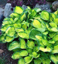 "Rainforest Sunrise; small hosta cultivar sport of Maui Buttercups. 10""H x 25""W"
