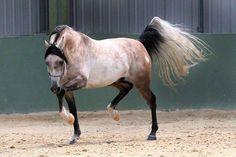 Amazing rose grey Arabian