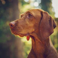 Portrait of a lady . Vizsla Funny, Vizsla Dog Breed, Vizsla Puppies, Weimaraner, Dog Breeds, Working Cocker, Working Dogs, Tallest Dog, Hungarian Vizsla