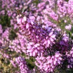 Winterheide (Erica carnea)-directplant