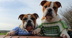 Puppies Cosy Up in Cute Jumpers - Just as Storm Doris started to build strength Dogs Trust Darlington Rehoming Centre received a very kind donation of beautifully handmade knitted dog jumpers by a lady from Pelaw.  The coats were immediately put to use and first to try them on for size were Carly & Albert 4 month old English bulldog puppies, how cute and cosy do they look?