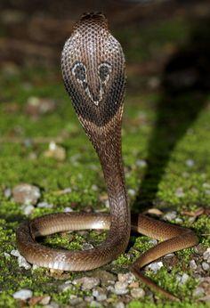 Nature Animals, Animals And Pets, Indian Cobra, King Cobra Snake, Snake Photos, All About Snakes, Alphabet Symbols, Snake Venom, Beautiful Snakes