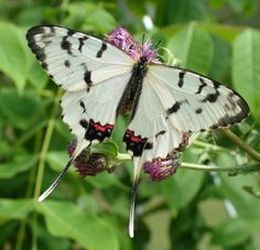 The Dragon Swallowtail, Sericinus montela, is a member of the subfamily Parnassiinae of the Swallowtail (Papilionidae) family. It is found in the Russian Far East, Korea, China and Japan.