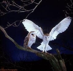 owls | Barn Owls alighting photo - WP13688