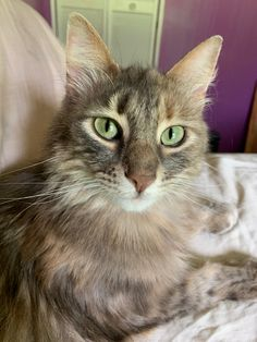The most beautiful tabby I've seen so far today. Beautiful Cats, Beautiful Pictures, Owning A Cat, Grey Cats, Cat Grooming, Grumpy Cat, Cats And Kittens, Tabby Cats, Cat Breeds