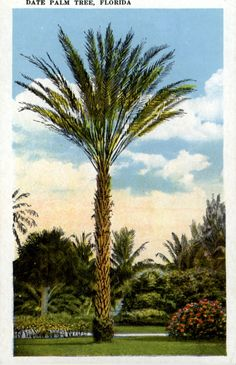 Florida Memory - Date palm tree - Florida