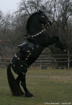 Rearing black horse with Medieval saddle breeching/barding