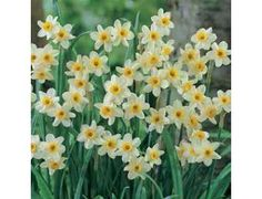 Minnow is one of the smallest of all  daffodils. The miniature pale yellow blooms resemble those of their larger cousins except these little plants offer multiple flowers per stem