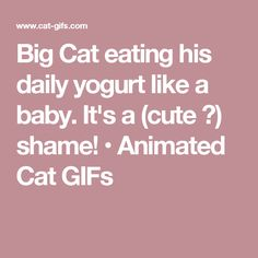 Big Cat eating his daily yogurt like a baby. It's a (cute ♥) shame! • Animated Cat GIFs