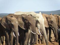 Elephants Line Up To Drink, Amakhala Game Reserve