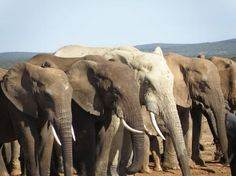 Elephants Line Up To Drink, Amakhala Game Reserve
