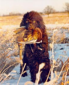 Irish Water Spaniel http://www.animalplanet.com/breed-selector/dog-breeds/sporting/irish-water-spaniel.html