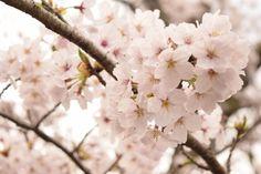 459:「ふんわりとした桜の雰囲気が出せるよう暖色系で撮影しました。」@琴弾公園