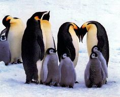 Did you know... penguins stay with their partners forrrrever?