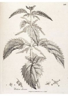 Common Nettle | Nature at your Home