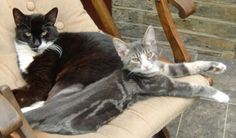 Summer and Dexter - Cat - The Mayhew Animal Home