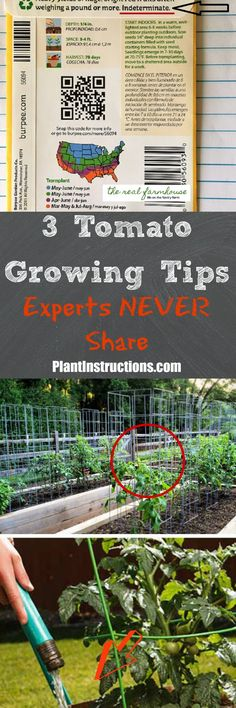 Today we'll talk about 3 tomato growing tips that you never knew about. These tips and are not well known, but will help you maximize your tomato crop!